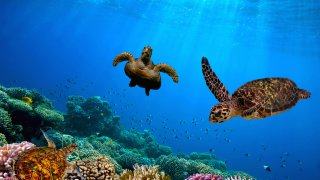 Les tortues de la Grande Barrière de Corail en Australie