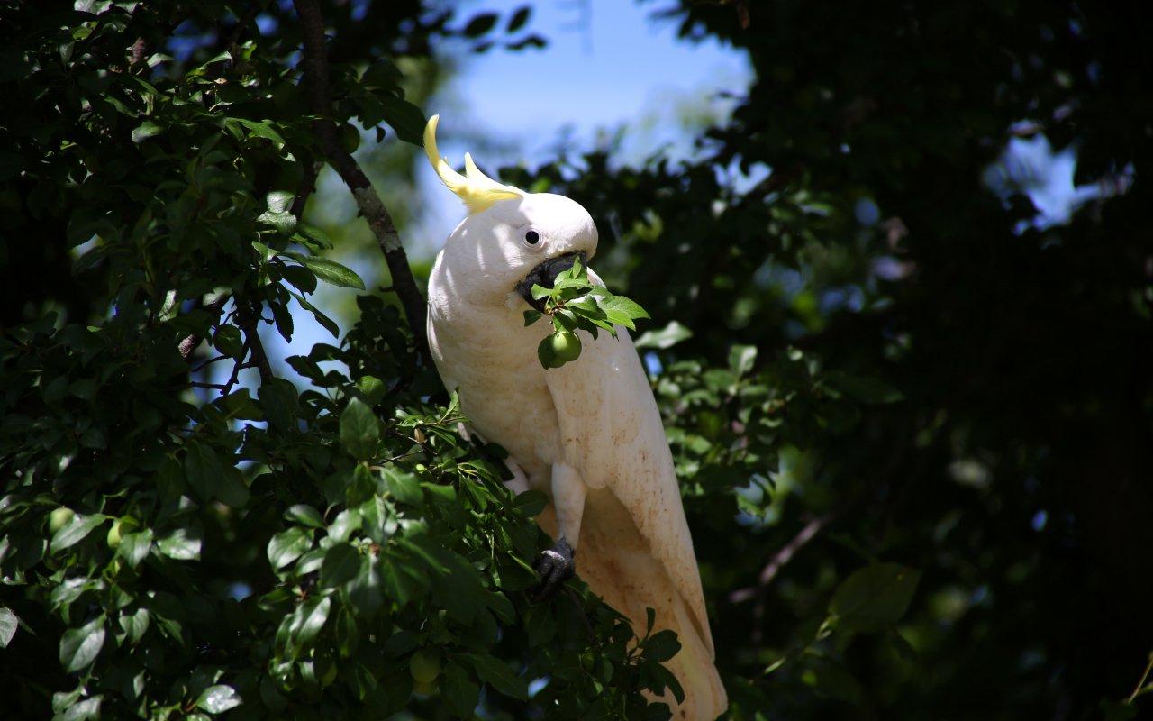 Perroquet du parc national de Namadgi
