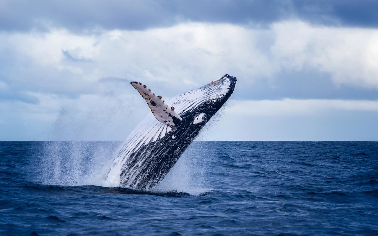 Observer les baleines en Australie