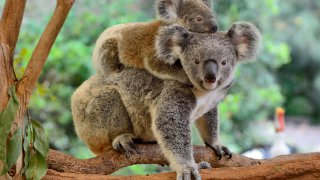 Faune et flore en Australie : le koala