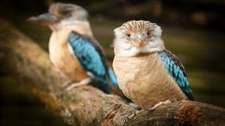 Faune et flore en Australie : le kookaburra