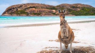 Faune et flore en Australie : le kangourou