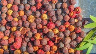 Graines de bois de santal utilisées par les aborigènes