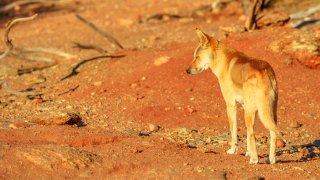 Faune et flore en Australie : le dingo