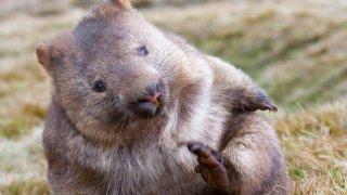 Faune et flore en Australie : le wombat
