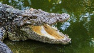 Faune et flore en Australie : le crocodile