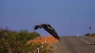 Aigle au Cape Range