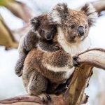 voyage australie koalas - terra australia