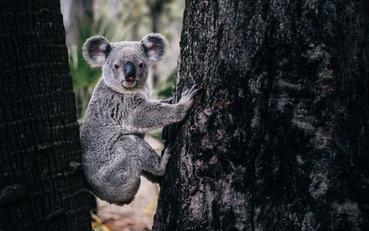 koala bushfire