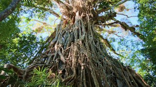 cathedral fig tree - voyage australie terra australia