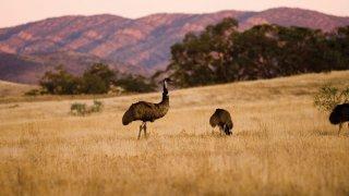 Emeus dans les Flinders Range