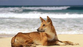 dingo fraser island - voyage australie terra australia