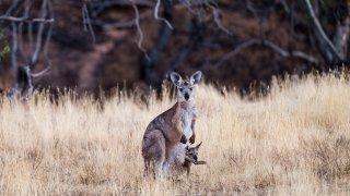 kangourou à l'arkaba lodge