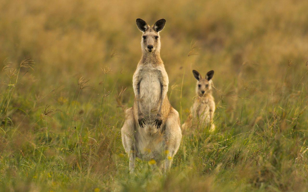 Kangourous sur l'ile de Kangaroo Island en Australie