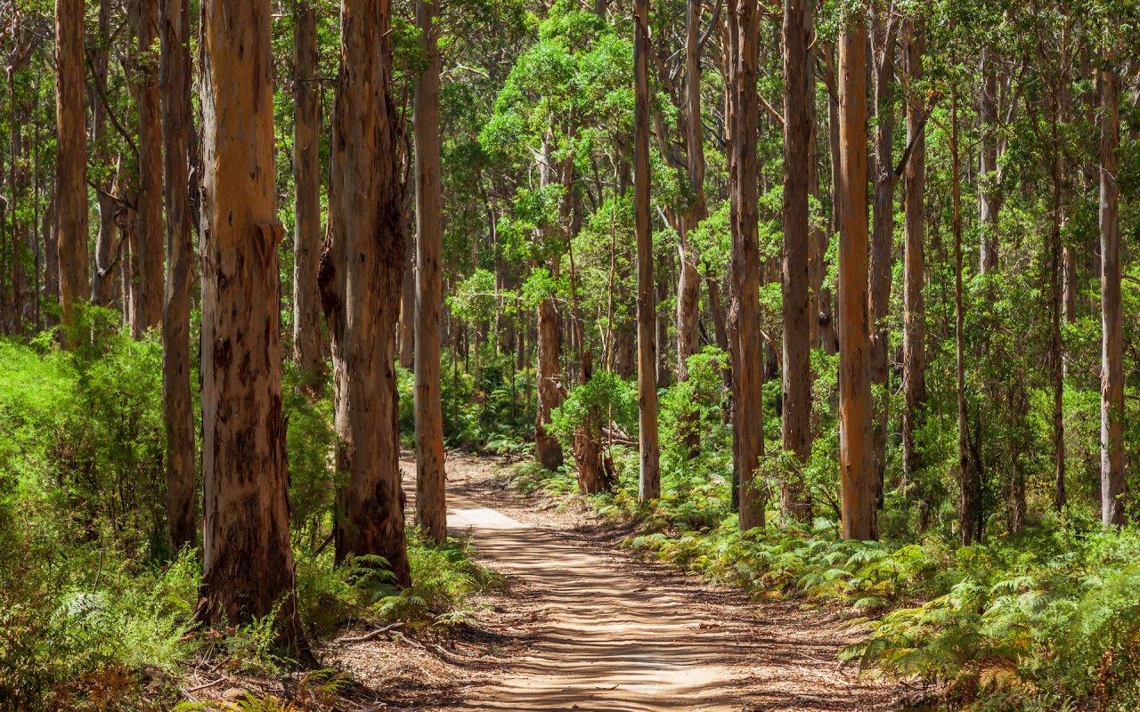 karri forest western australia
