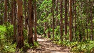 karri forest - voyage australie terra australia