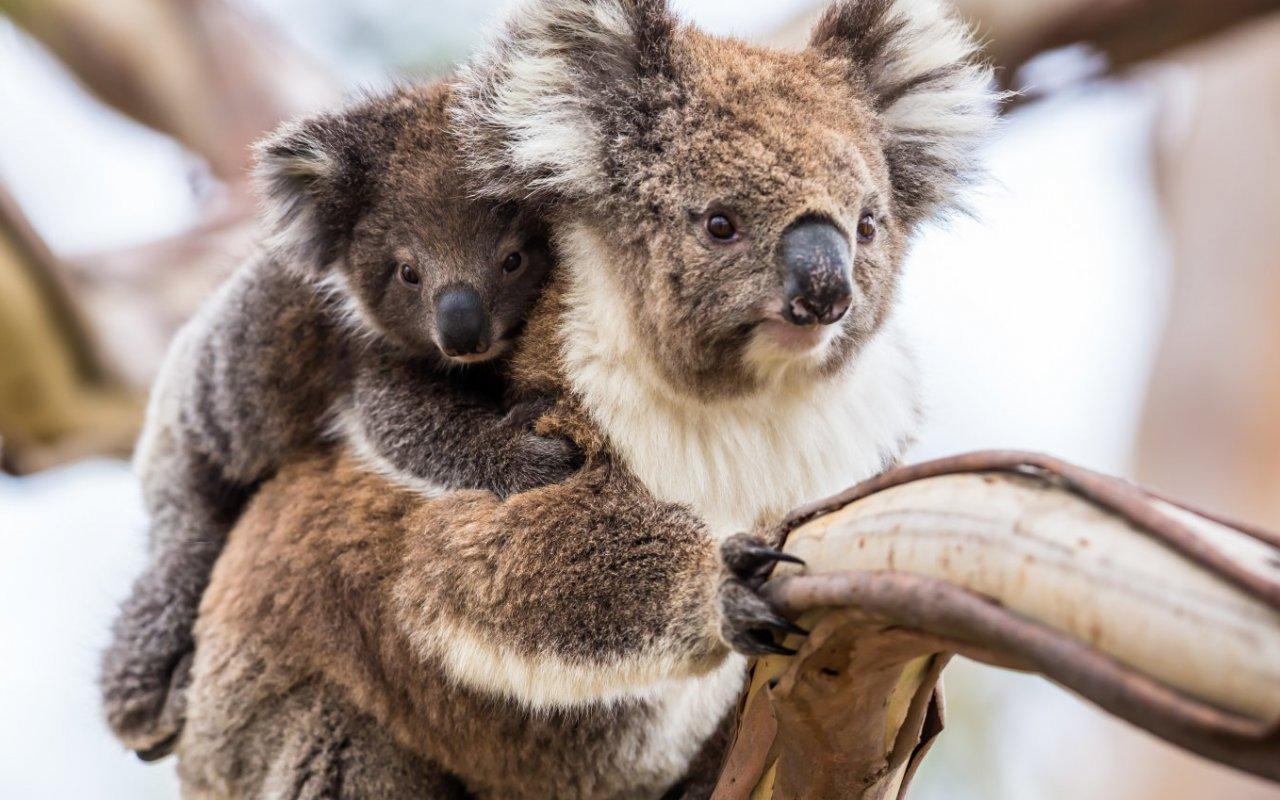 koala - voyage australie terra australia