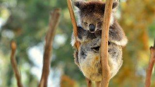koala - voyage durable en australie