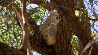 koala - magnetic island - voyage australie terra australia