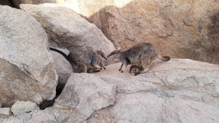 Magnetic Island_rock wallabies