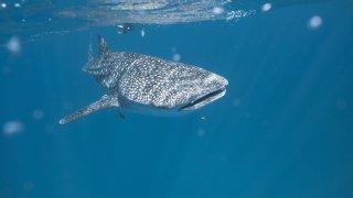 Requin Baleine Exmouth