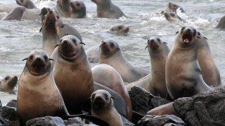 Phillip Island Otarie
