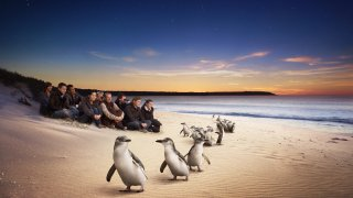 Phillip Island Pingouin
