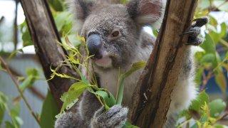 Koala Port Stephens