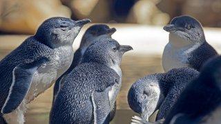 pymee penguin melbourne - voyage australie