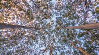 bonarup karri forest - voyage australie terra australia