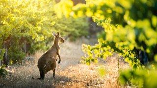 vins kangourous